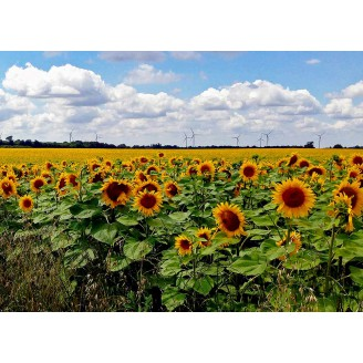 Photo 13 - Tournesols
